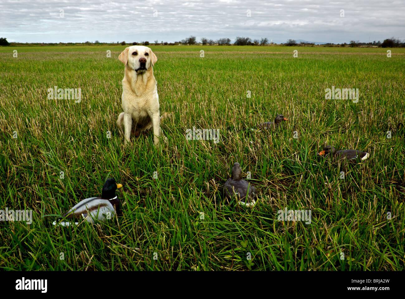 Duck Decoys Stock Photos & Duck Decoys Stock Images - Alamy - photo#30