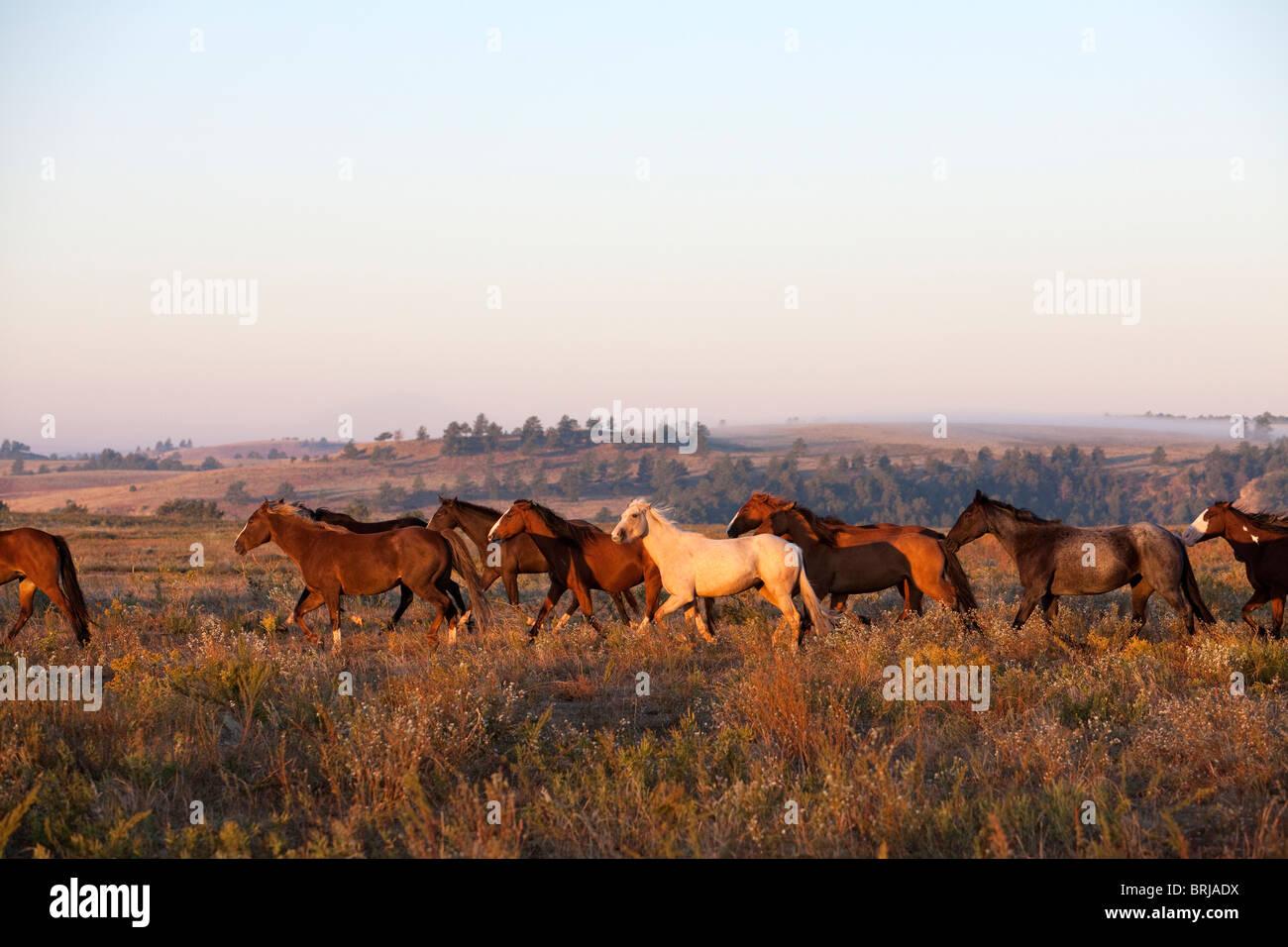 Black Hills Wild Horse Sanctuary, South Dakota, SD, (near Hot Springs) United States of America, USA - Stock Image