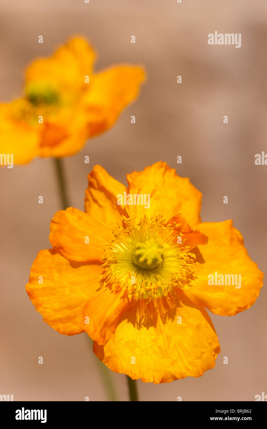 flower colourful colorful yellow orange poppy - Stock Image