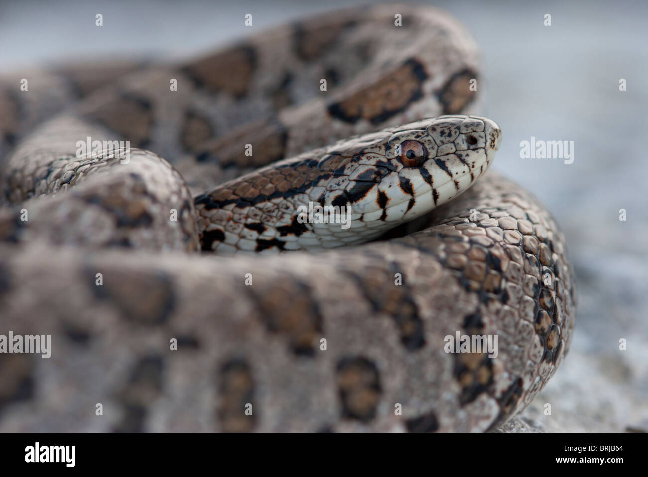 Milk Snake Eastern Milk Snake Stock Photos  Milk Snake -1314