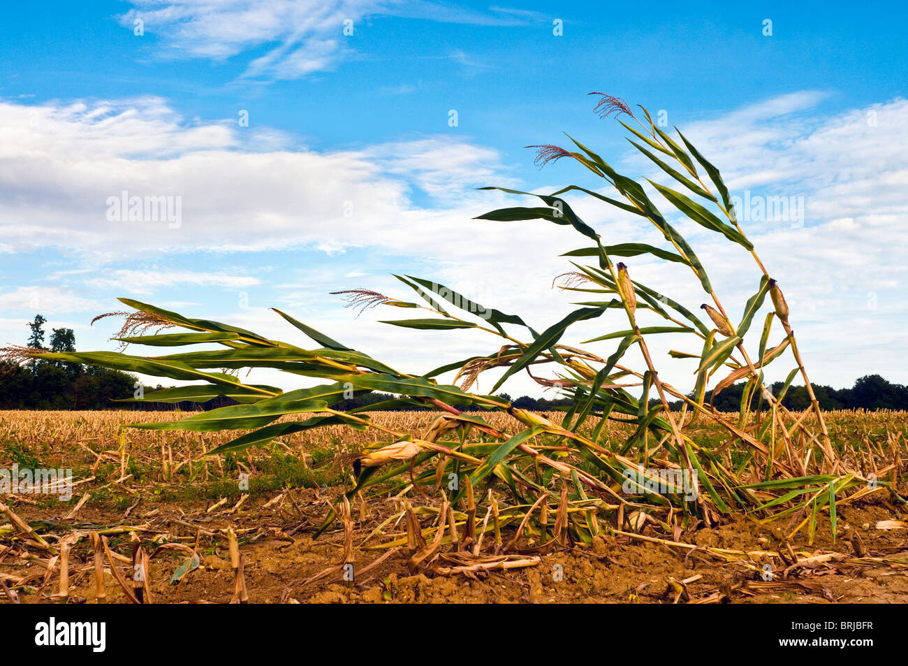 Solitary stems of maize / sweet corn after harvest - Indre-et-Loire, France. - Stock Image