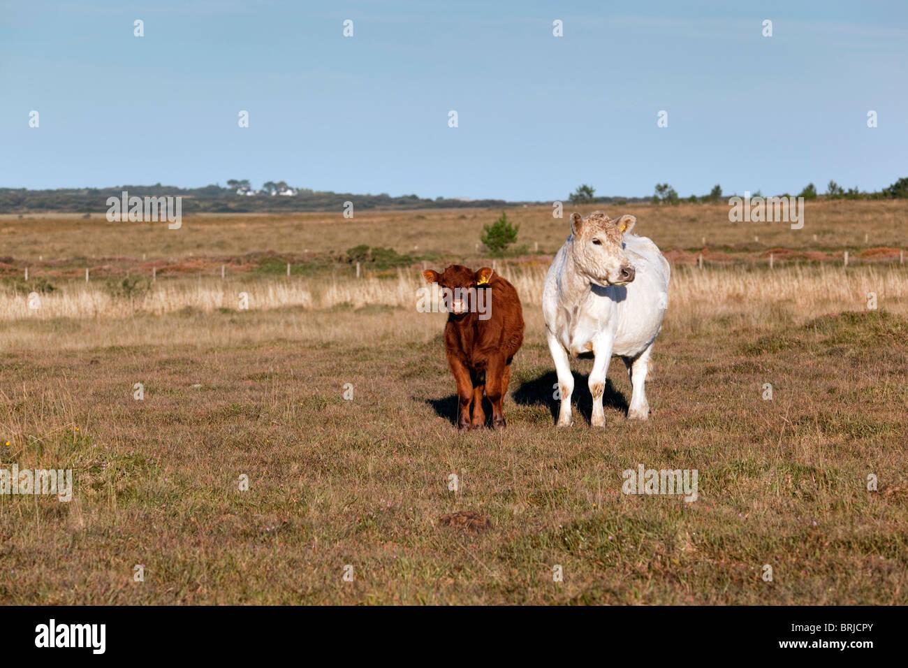 Cattle; Croft Pascoe NNR; Lizard; Cornwall - Stock Image