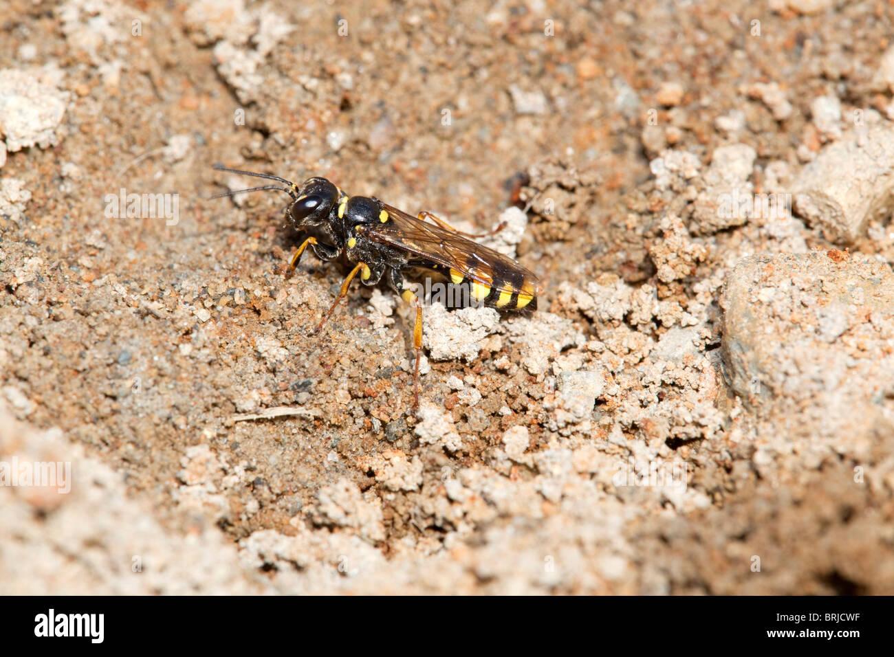 Digger Wasp; Mellinus arvensis; mine waste; Godolphin; Cornwall - Stock Image
