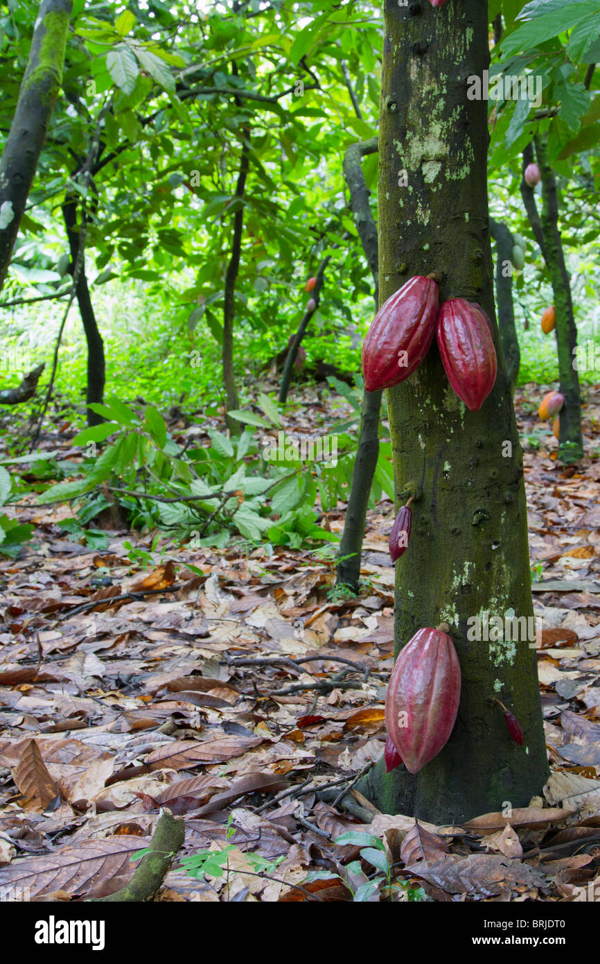 Cacao plantation in a remote rural area of Nigeria. - Stock Image
