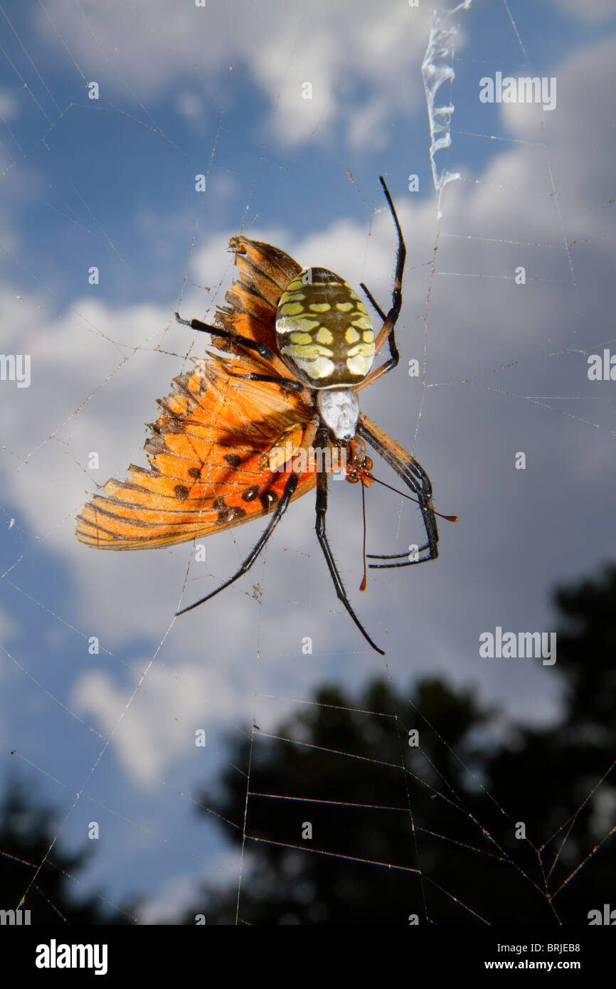Female black-and-yellow argiope (Argiope aurantia) eating the captured butterfly in the web. - Stock Image