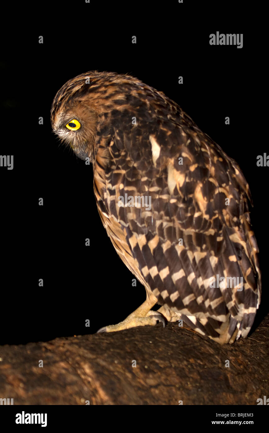 Buffy fish owl, (Ketupa ketupa) hunting at night - Stock Image