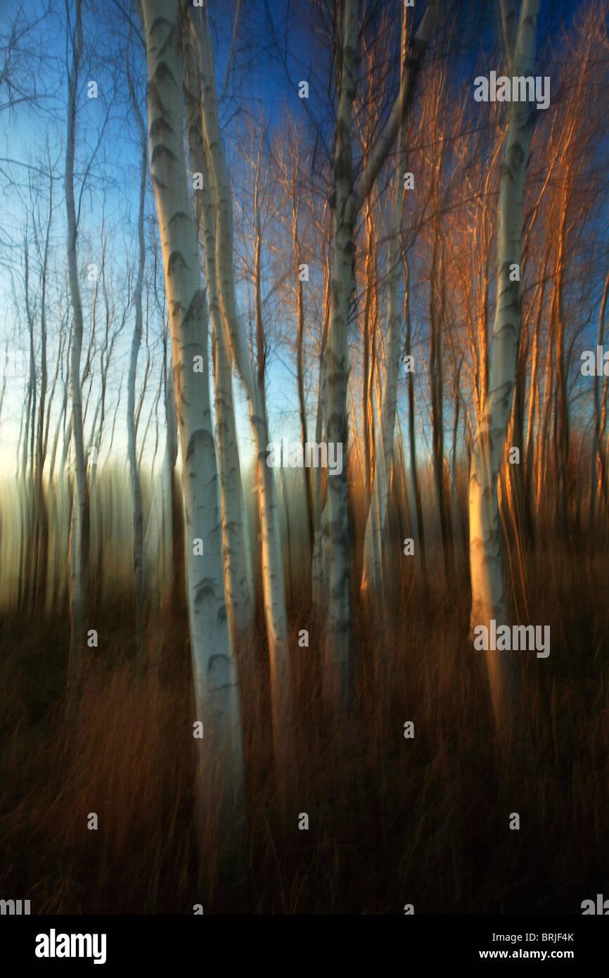 Impressionistic interpretation of a grove of Birch Trees in Autumn - Stock Image