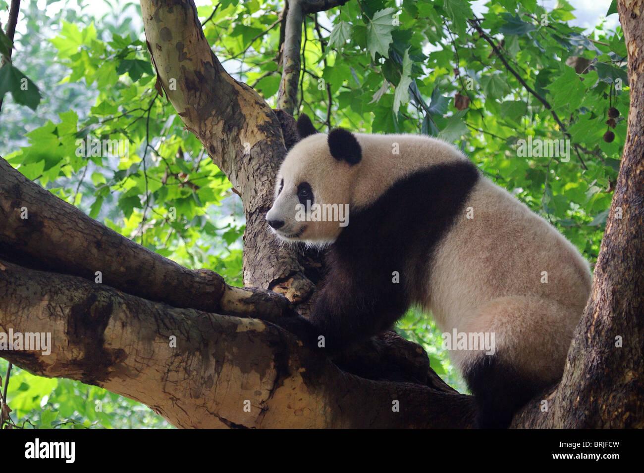 Giant Panda in Chengdu Panda Base, China - Stock Image
