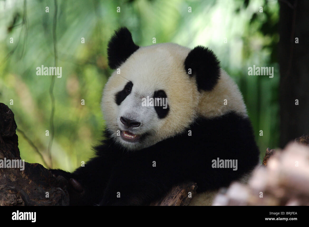 Giant Panda in Chengdu Panda Base, China - Stock Image