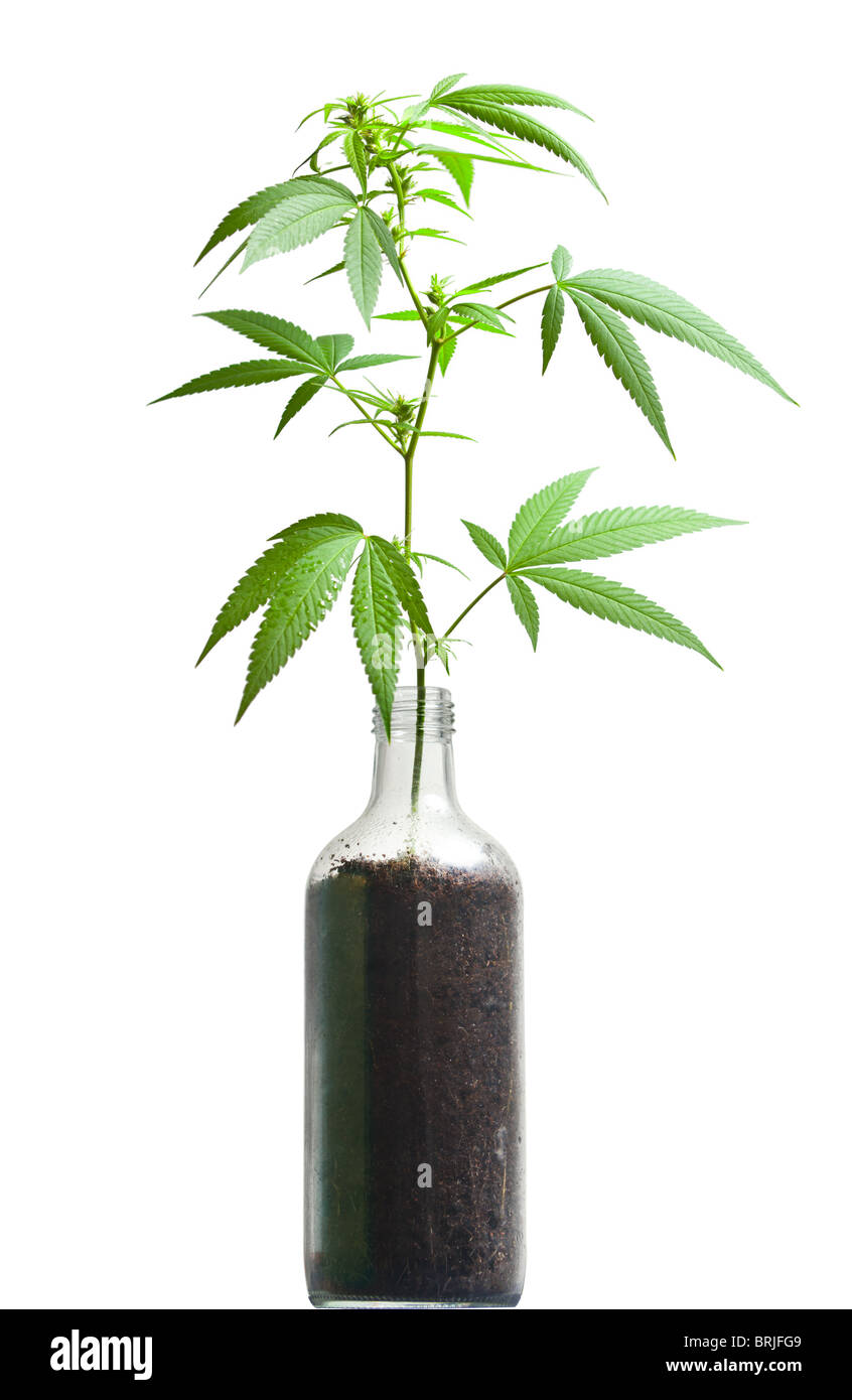Cannabis sativa plant growing out from a bottle; a metaphor for prohibition - Stock Image