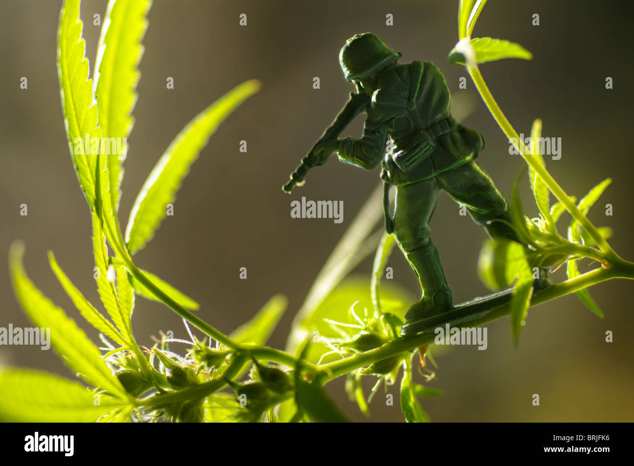 War against nature; toy soldier aiming at a seed-bearing cannabis sativa plant - Stock Image