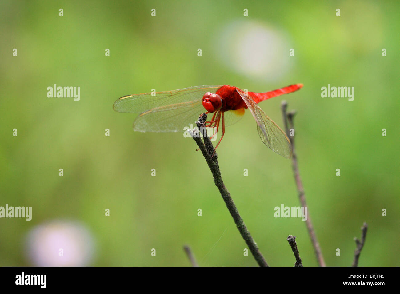 Red dragonfly sitting on a stick Stock Photo