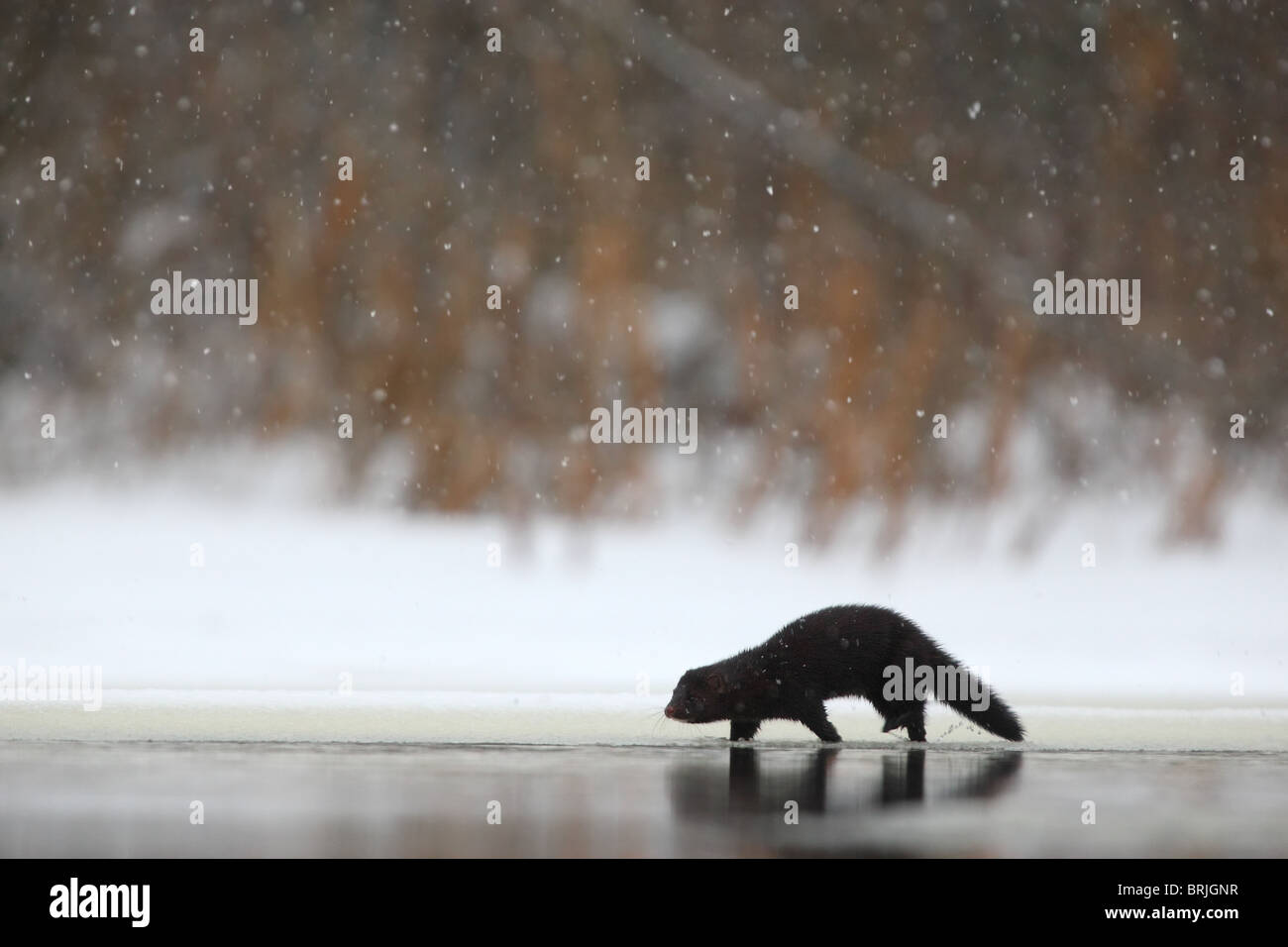Wild American Mink (Mustela vison) walking on riverbank, looking for food. Europe. - Stock Image