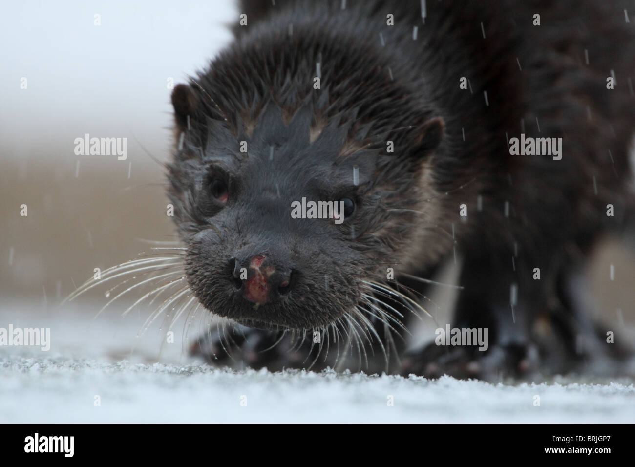Wild European Otter (Lutra lutra) with injured nose. Europe, Estonia - Stock Image