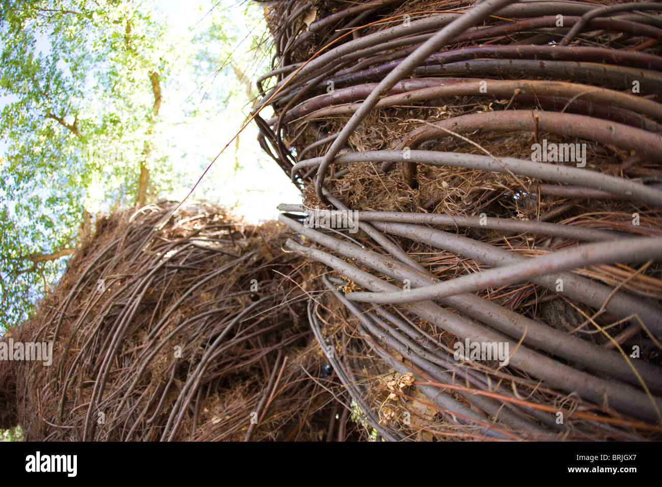 close up of forest shelter made of woven sticks, root, vine, tree branches - Stock Image