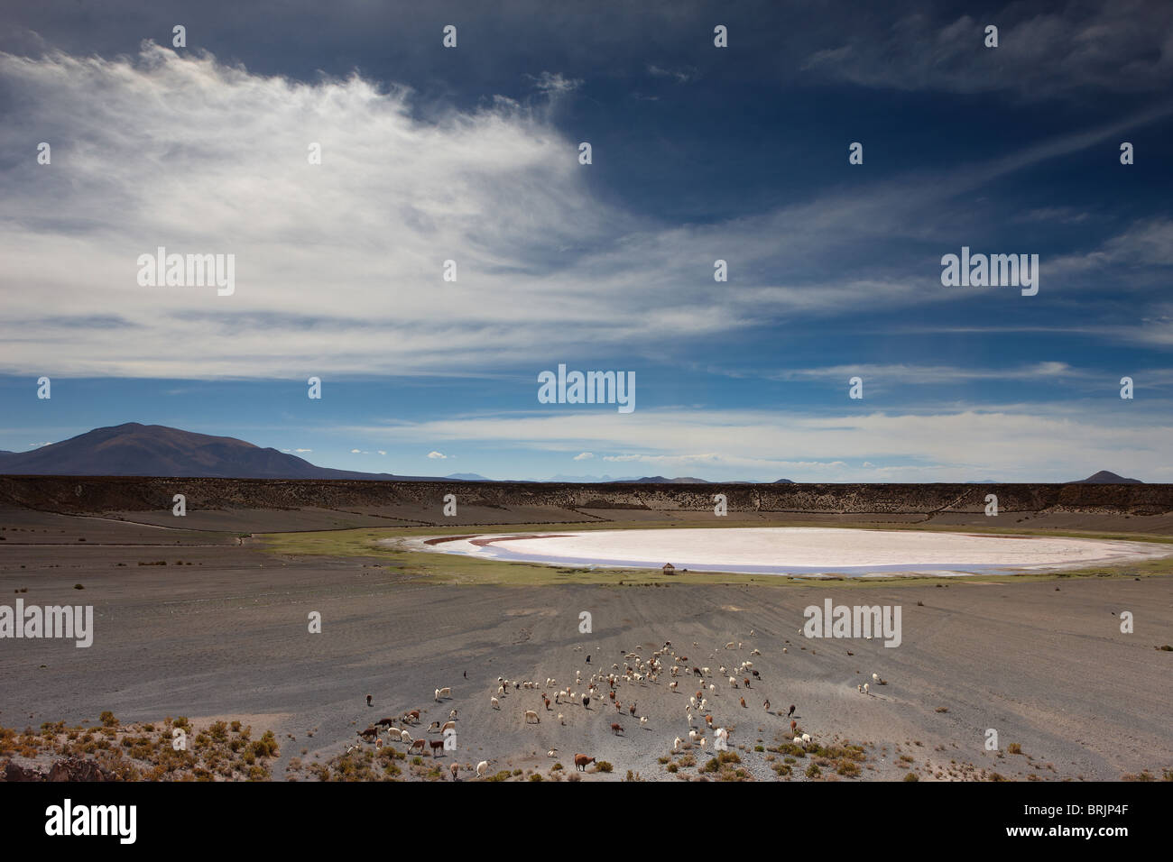 a herd of llama in a volcanic crater on the altiplano, nr Castiloma, Bolivia - Stock Image