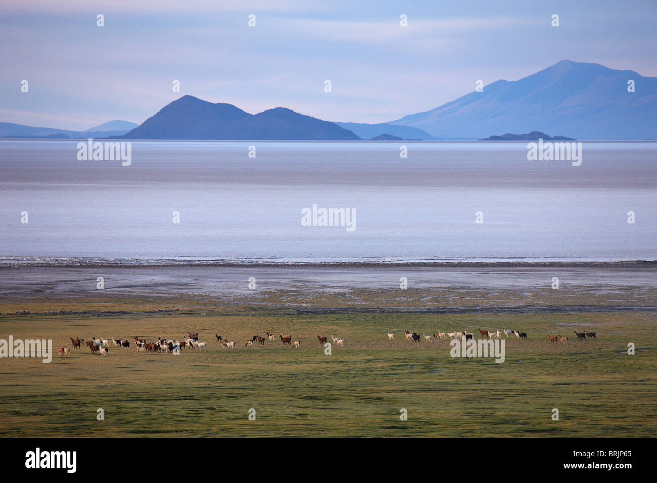 a herd of Llamas on the edge of the Salar de Uyuni, Bolivia - Stock Image