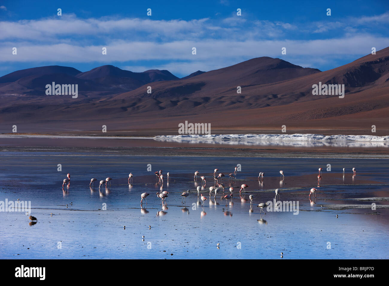 flamingos on Laguna Colorada, Eduardo Avaroa Andean Fauna National Reserve, Bolivia - Stock Image