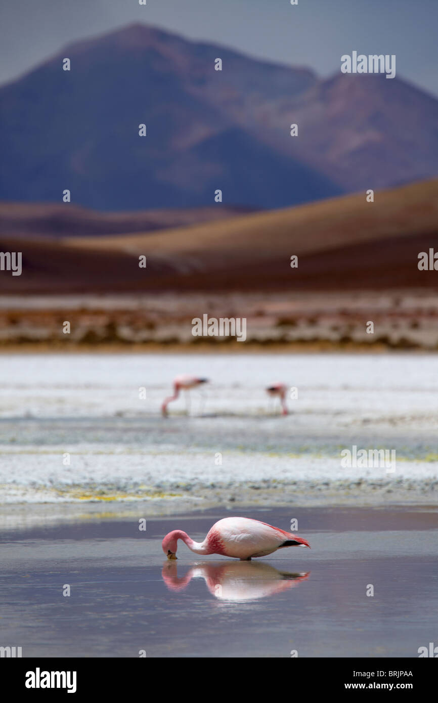 James flamingos on a laguna in the remote region of high desert, altiplano and volcanoes near Tapaquilcha, Bolivia Stock Photo