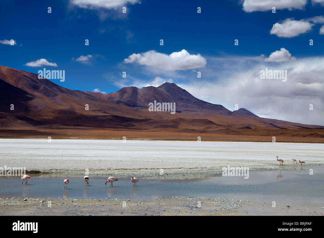 James flamingos on a laguna in the remote region of high desert, altiplano and volcanoes near Tapaquilcha, Bolivia - Stock Image