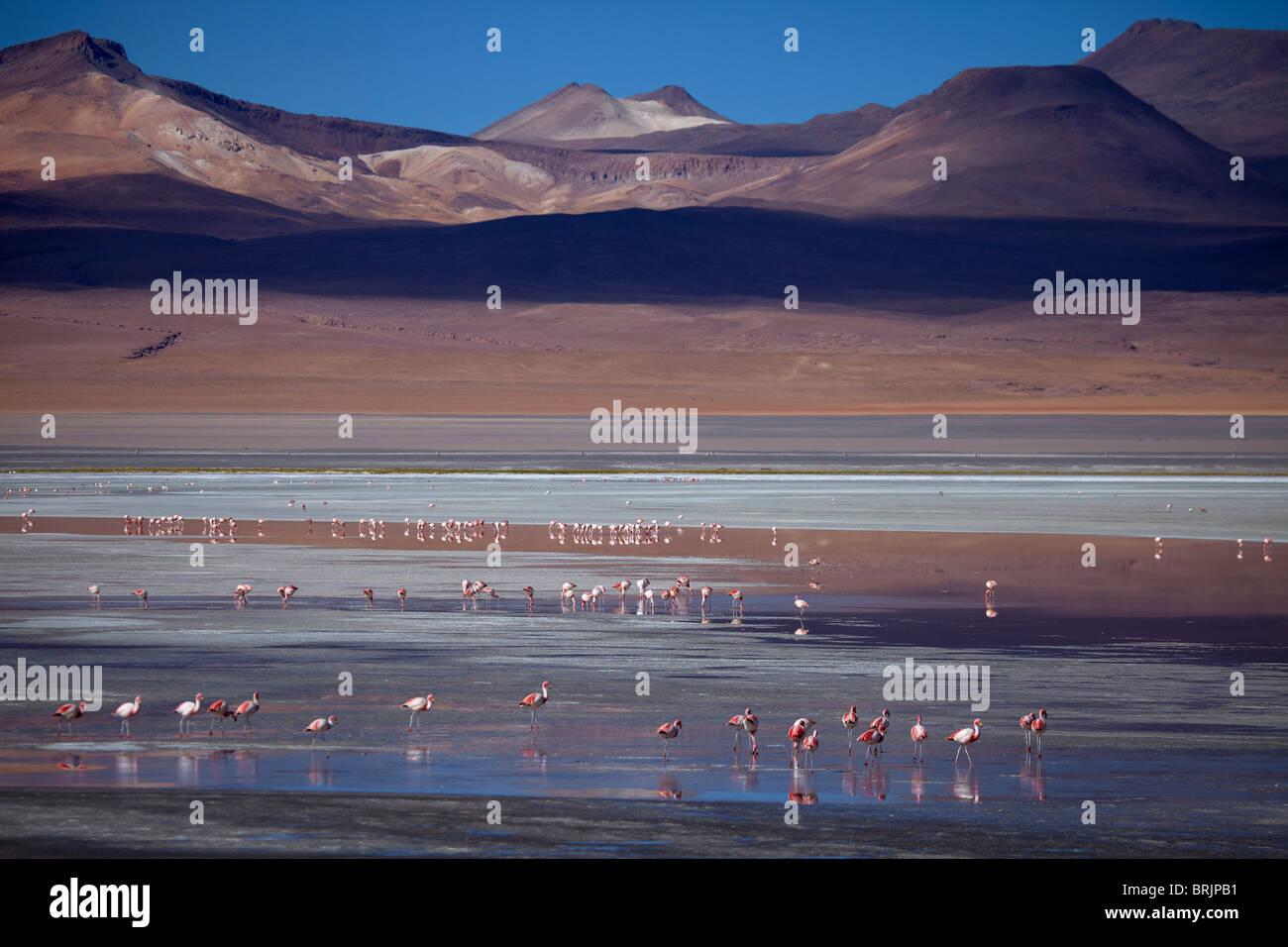 James flamingos on Laguna Colorada, Eduardo Avaroa Andean Fauna National Reserve, Bolivia - Stock Image