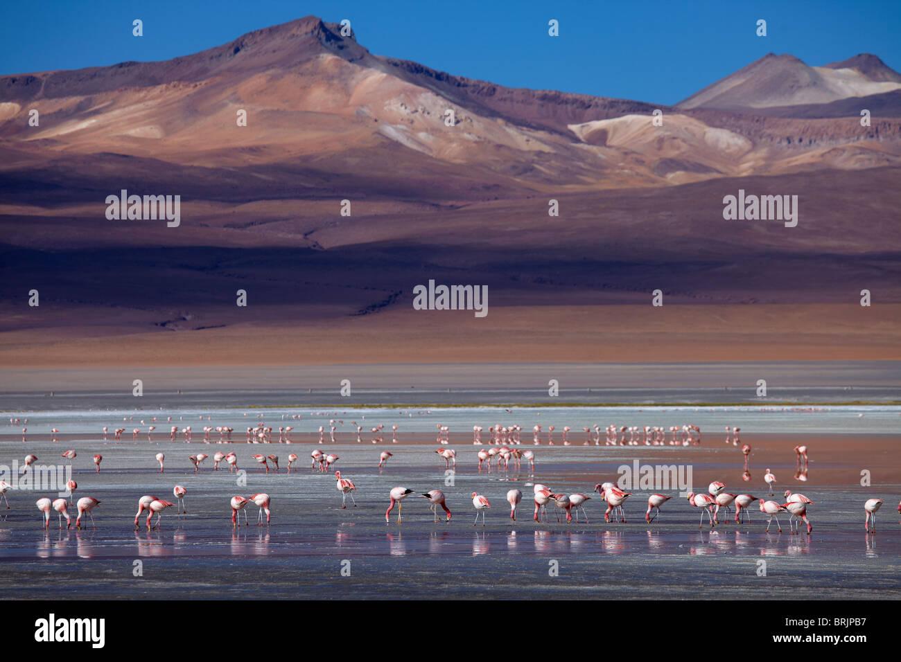 James flamingos on Laguna Colorada, Eduardo Avaroa Andean Fauna National Reserve, Bolivia Stock Photo