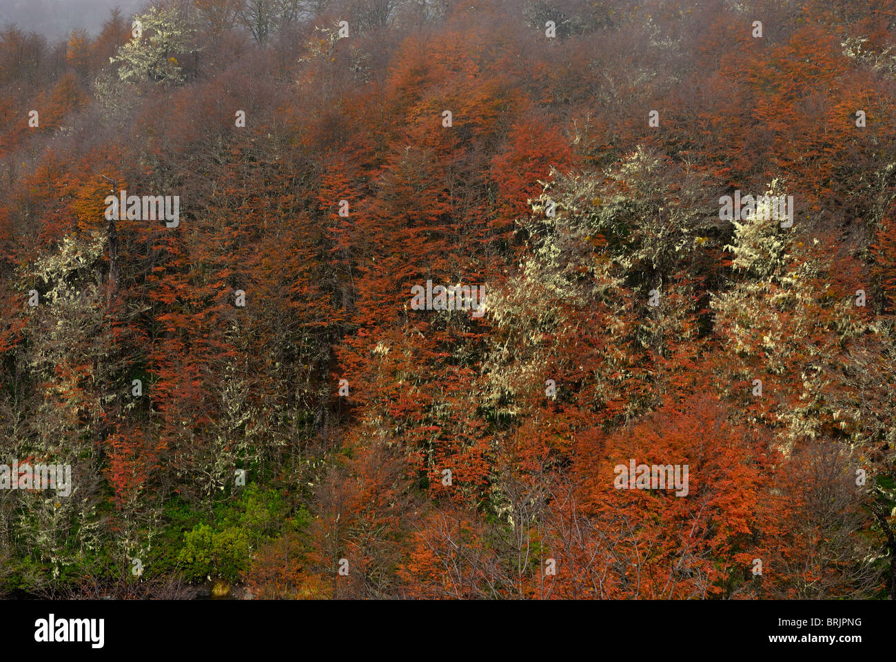Autumn in Paso Puyehue also known as Cardenal Samoré, between Argentina and Chile. - Stock Image