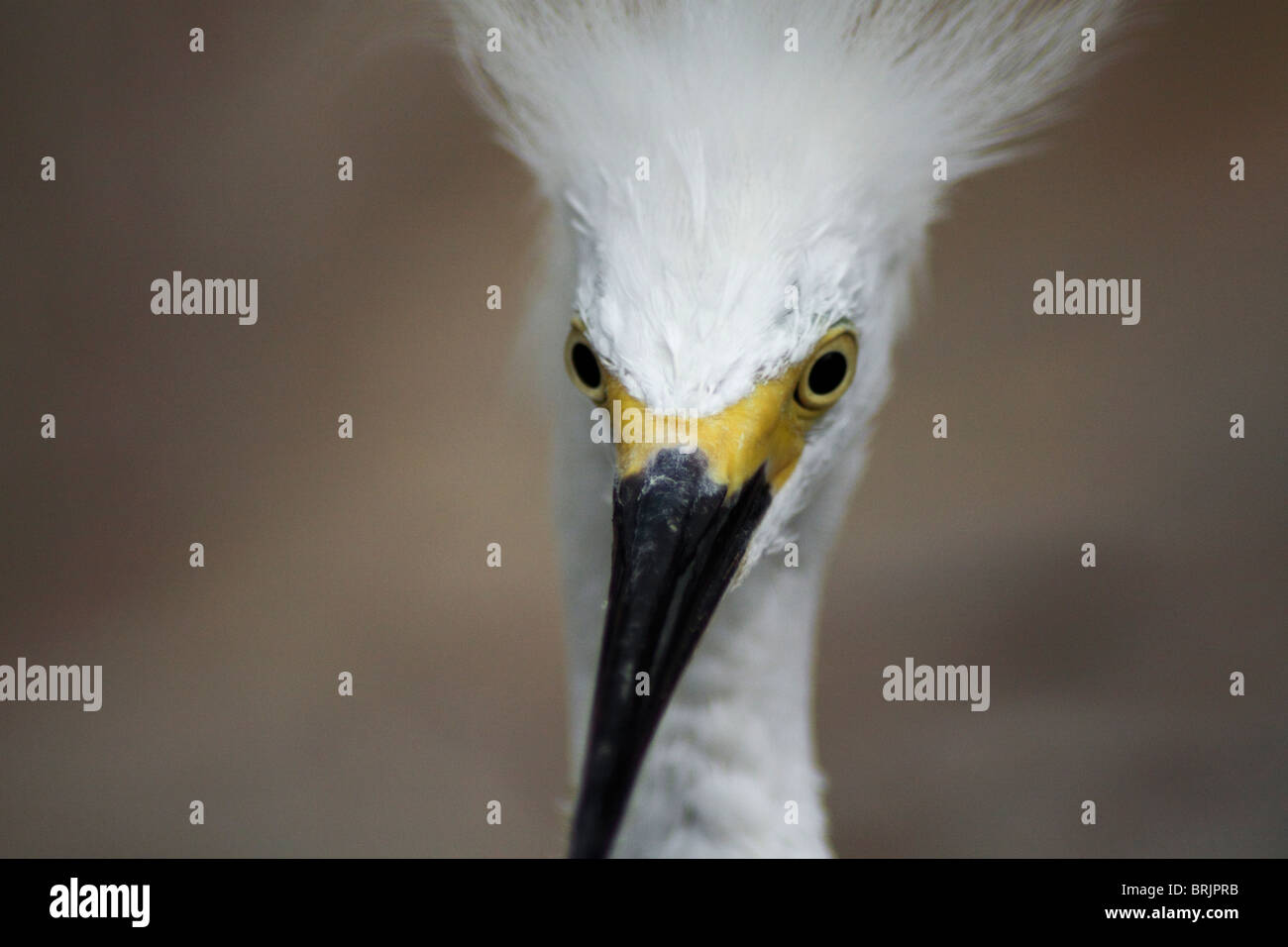 A close-up photograph of a Snow Egret (Snowy Egret) in Orlando, Florida. - Stock Image