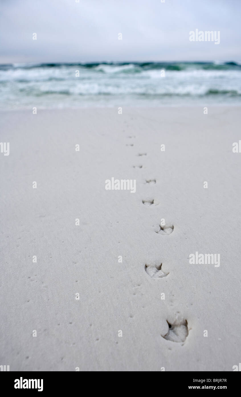 Bird tracks lead into the ocean from the beach. - Stock Image