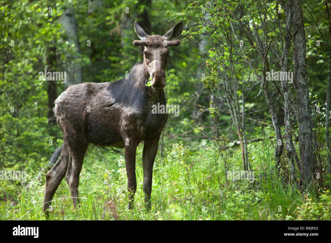 A bull moose stands in a lush forest in Idaho. Stock Photo