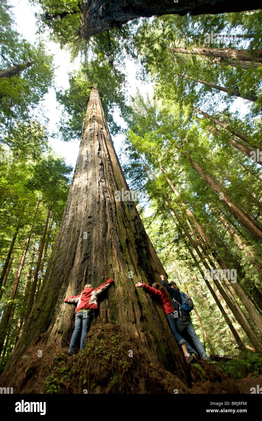 Three friends hug a massive redwood in California. - Stock Image