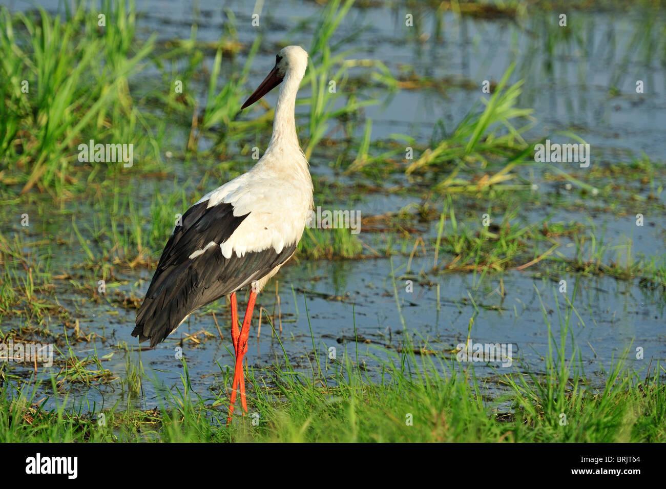 Storks stork in the Biebrza River Reservation in Podlasie Region, Poland - Stock Image
