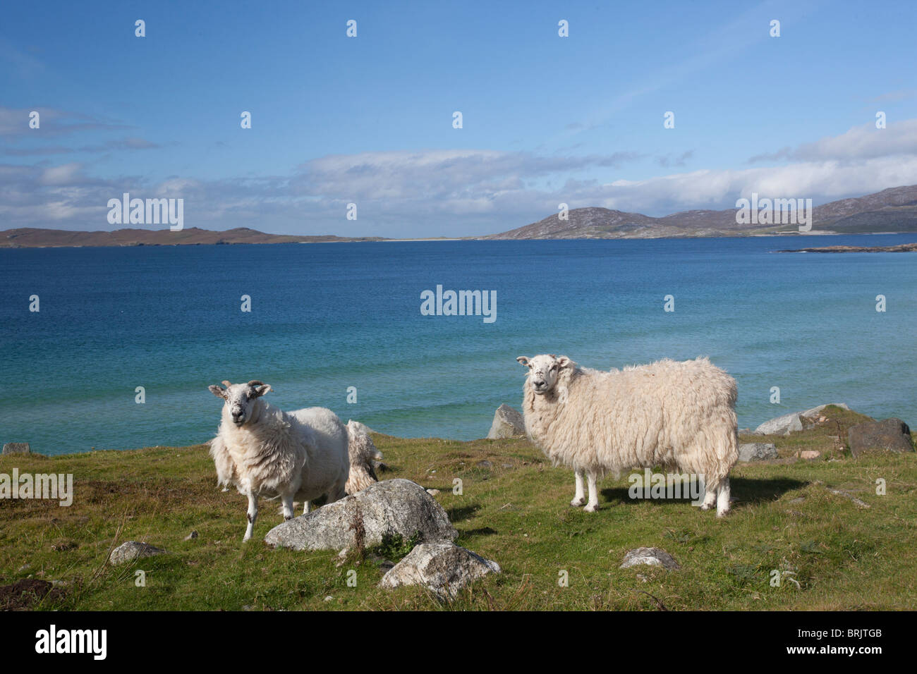 Sheep on the beach of Harris, Outer Hebrides, Scotland - Stock Image