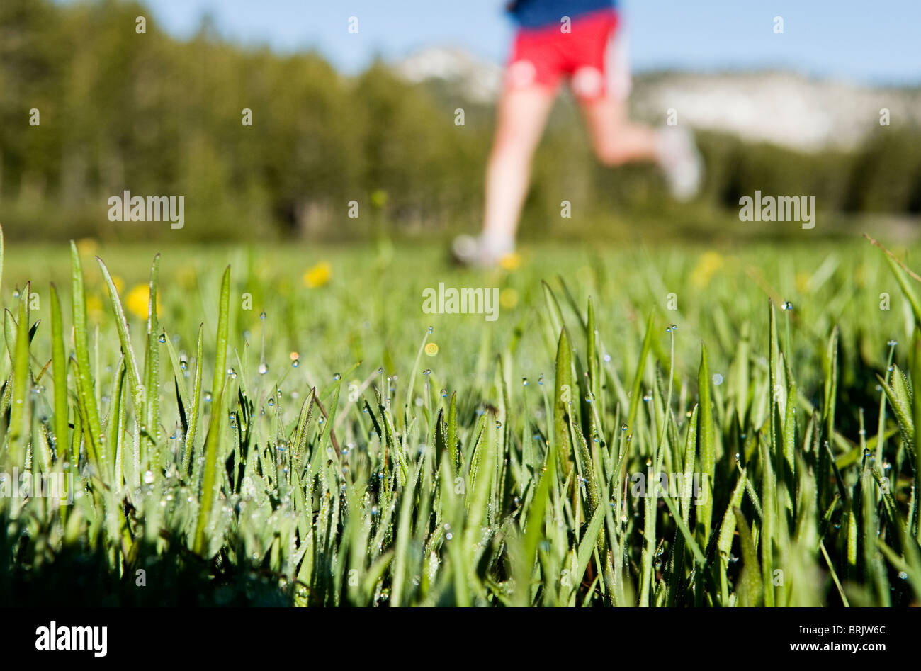 Morning dew fills the grass, while a young woman, out for a trail run, runs by in Lake Tahoe, Nevada. - Stock Image