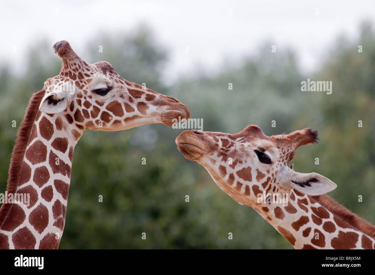 Giraffes (giraffa camelopardarlis) - Stock Image