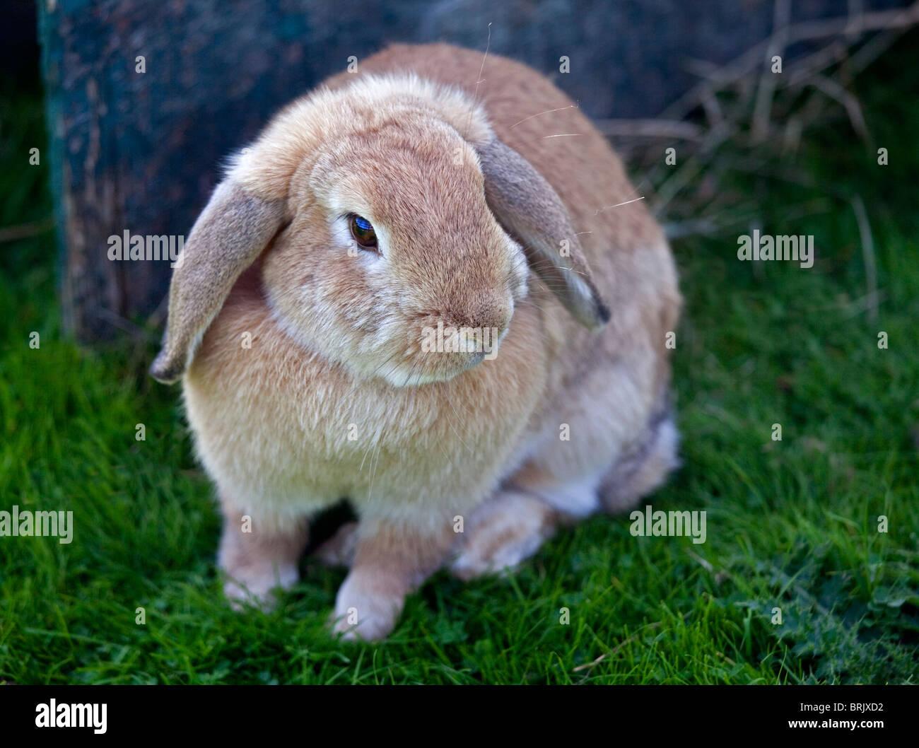 Beige Dwarf Lop-Eared Rabbit - Stock Image