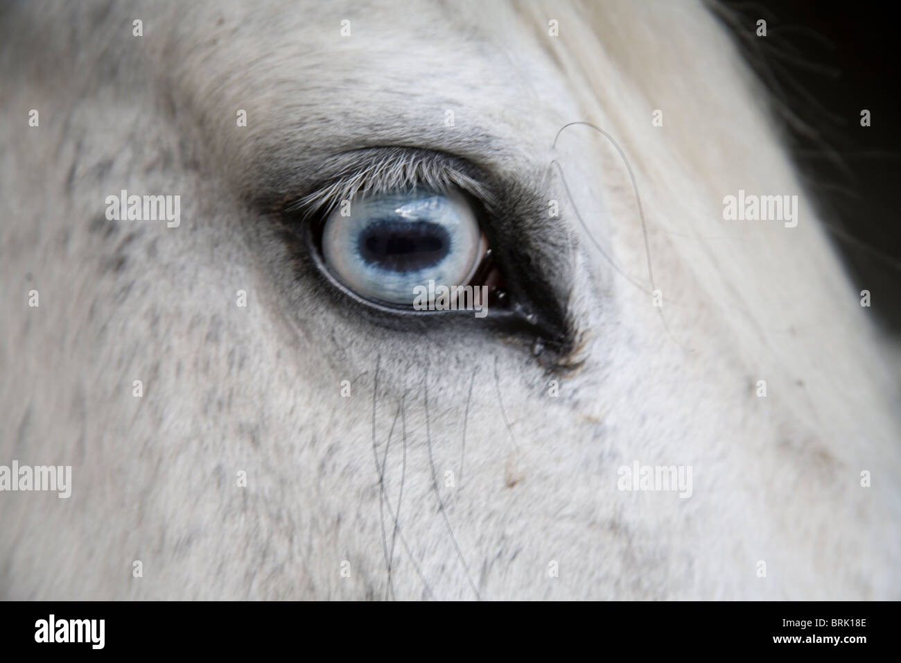 Blue Horse Eye High Resolution Stock Photography And Images Alamy