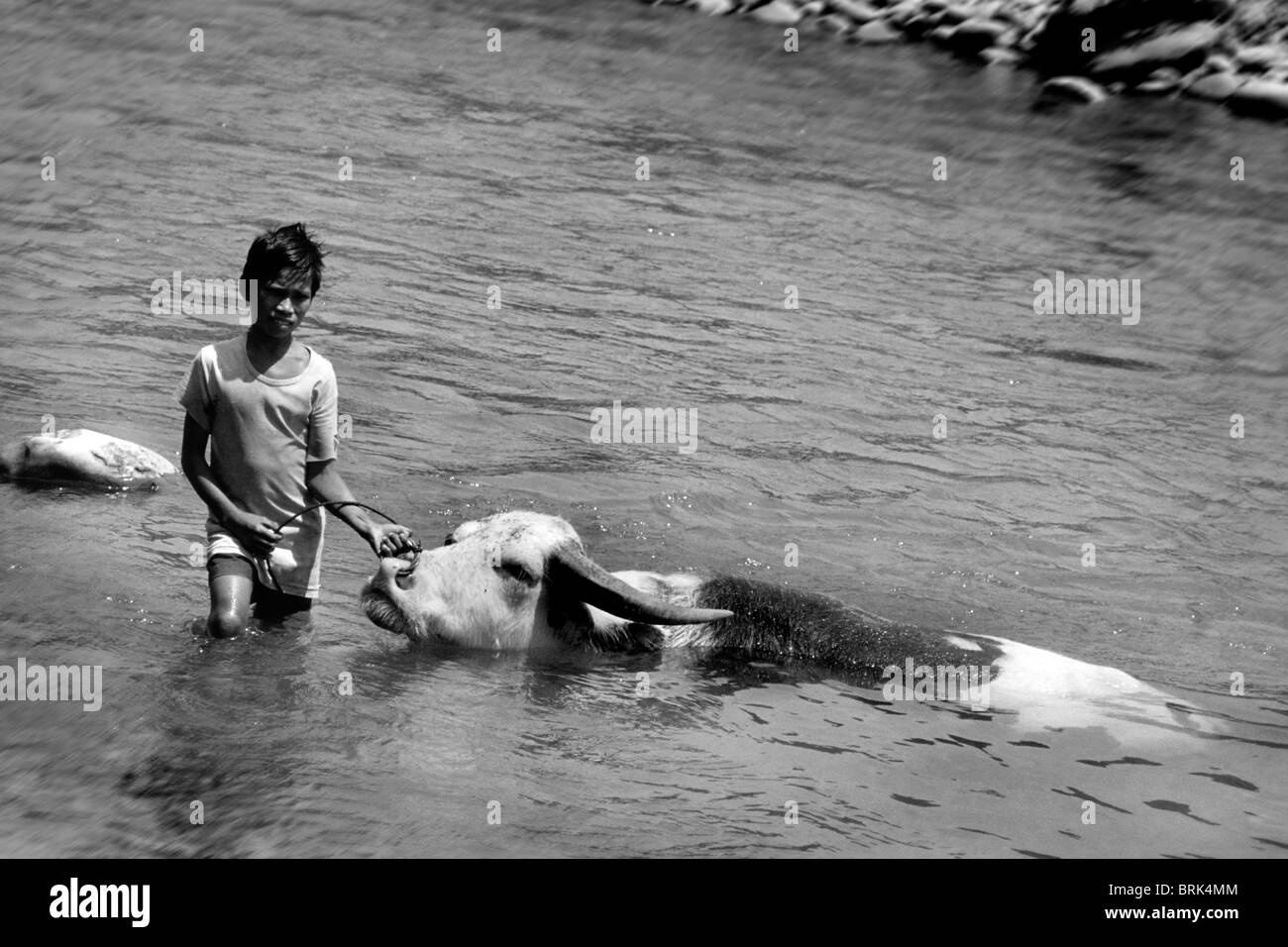 Child labor, young cattle rancher, Rantepao, Sulawesi, Indonesia - Stock Image