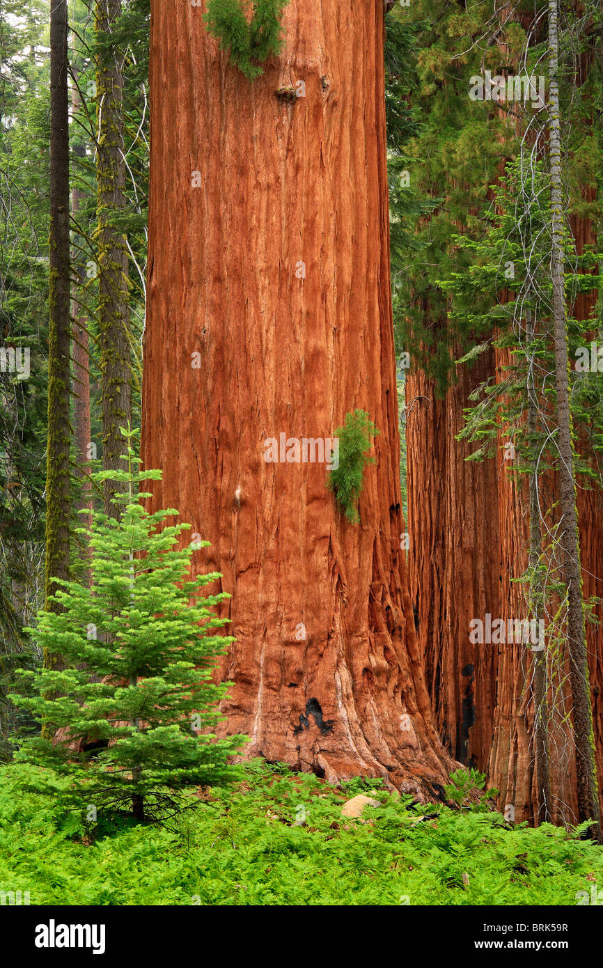 Giant Sequoias, or California Redwoods, in Sequoia and King Canyon National Park - Stock Image