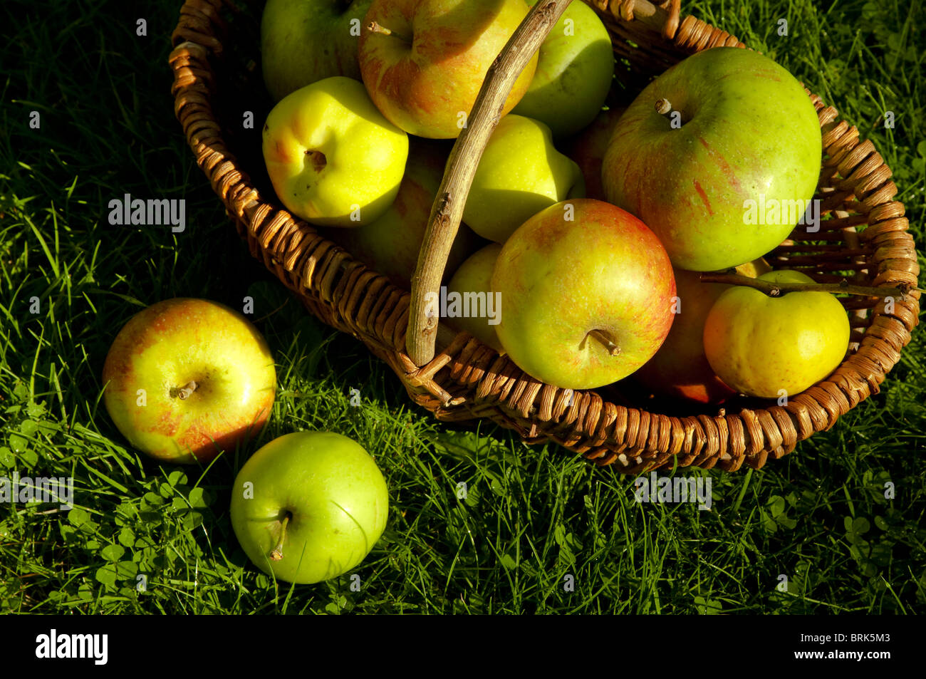 Autumn fruits in a basket bathed in autumn sunshine - Bramley apples, Quince, Coxes Orange Pippins. UK Stock Photo