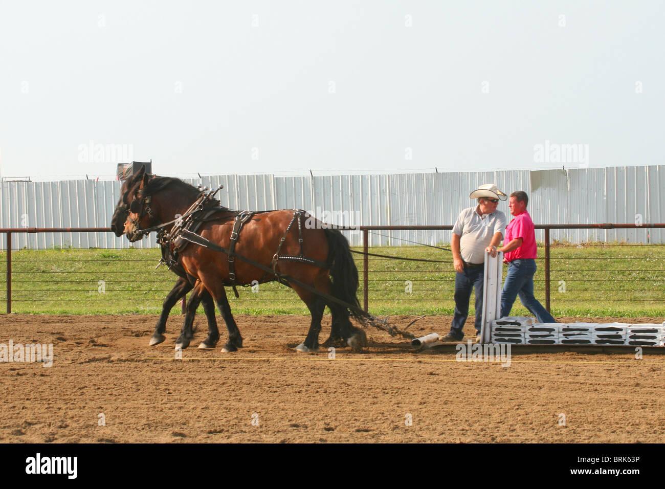 Gentle giant heavy draft horse pull. - Stock Image