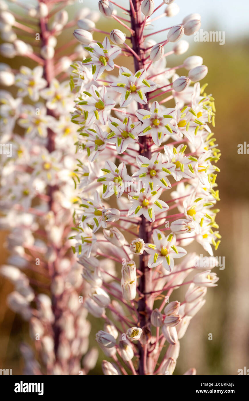 Lily like flowers stock photos lily like flowers stock images alamy close up of the tall white wild urginea maritime foxtail lily like flowers crete greece izmirmasajfo Image collections