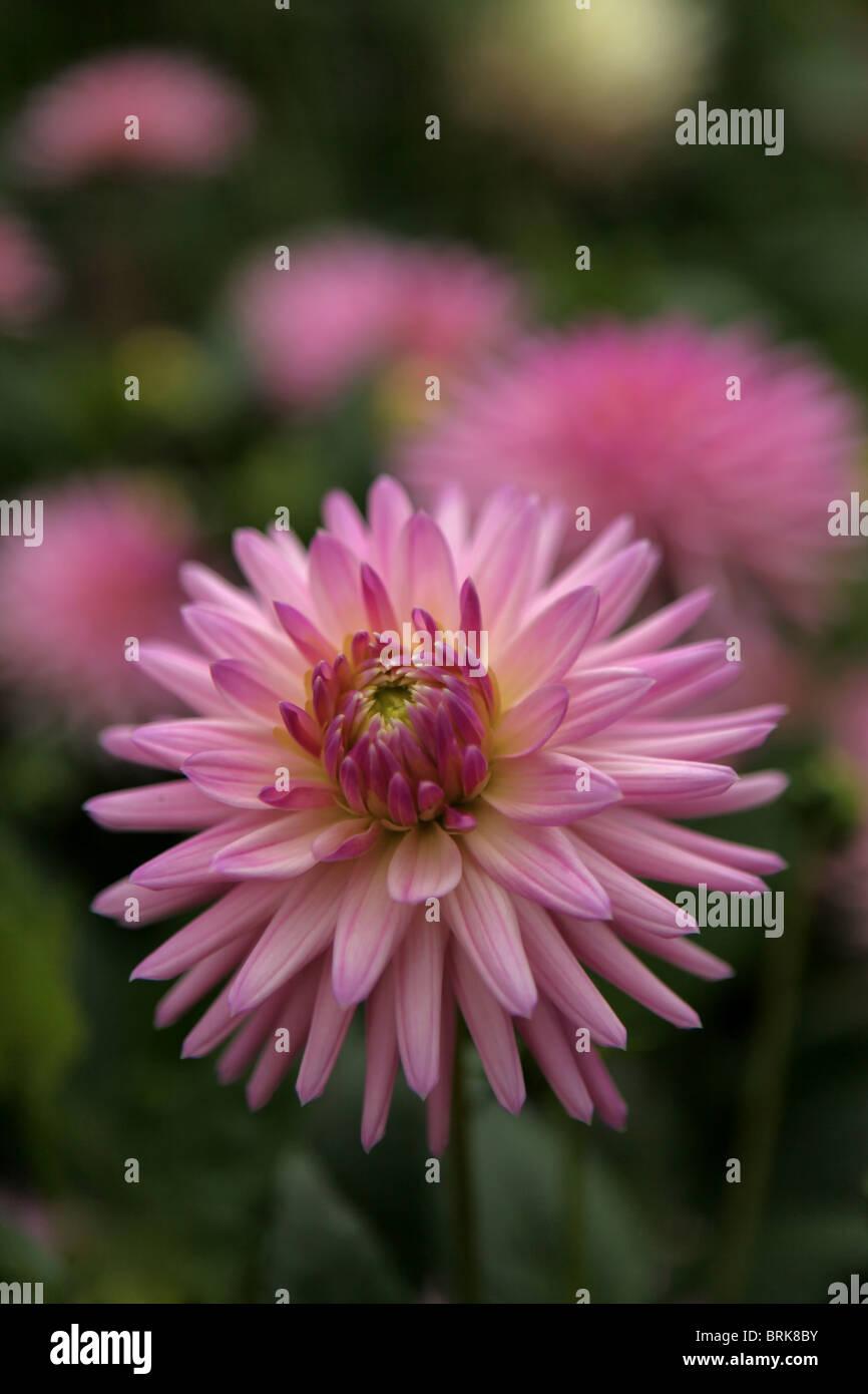 Pink Flower Cactus Stock Photos Pink Flower Cactus Stock Images