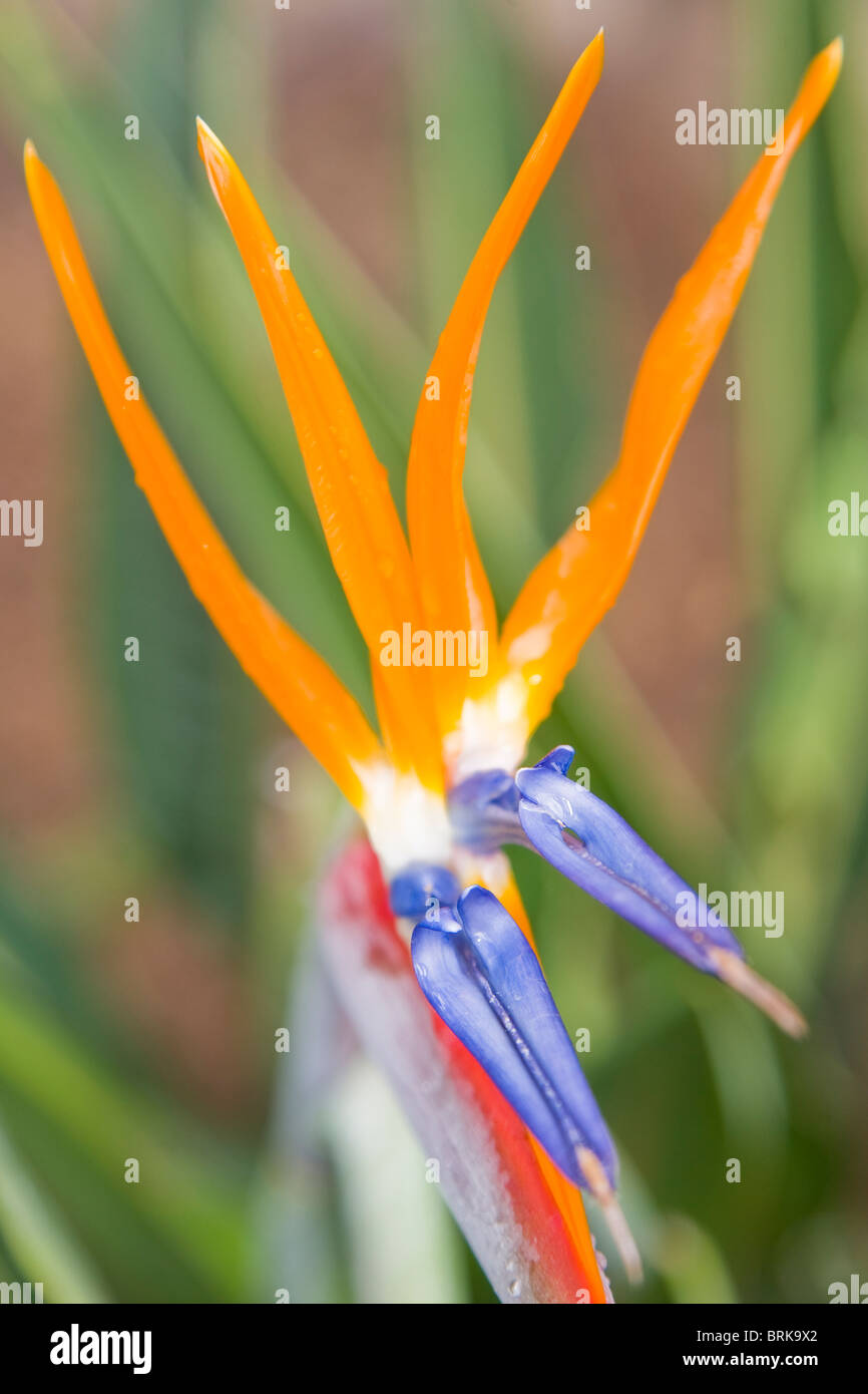 Strelitzia reginae flowers Stock Photo