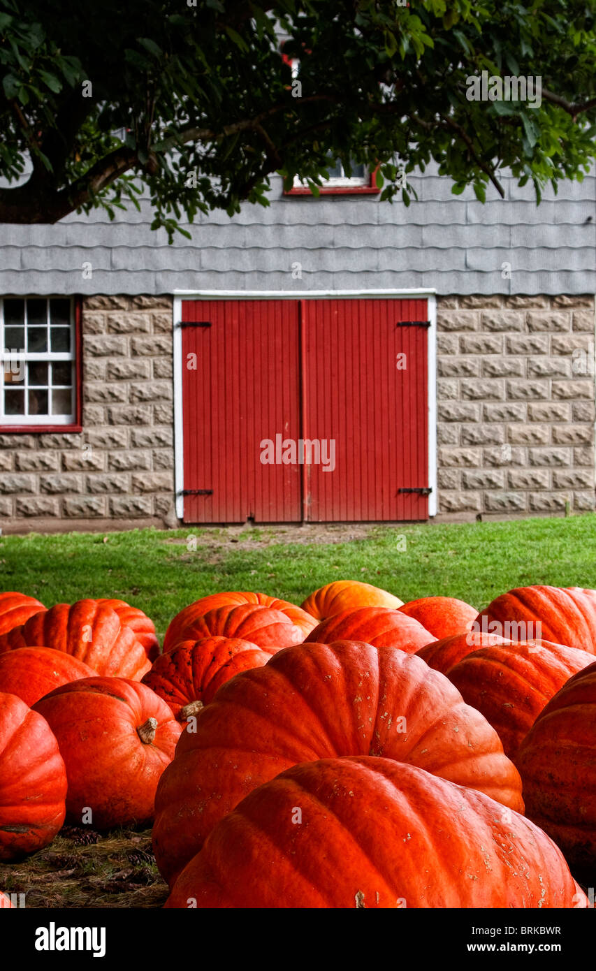 Large pumpkins near tree on rural farm near old rustic barn - Stock Image