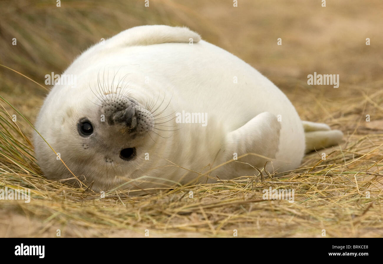 Grey seal pup, (Halichoerus grypus) in the sand dunes - Stock Image