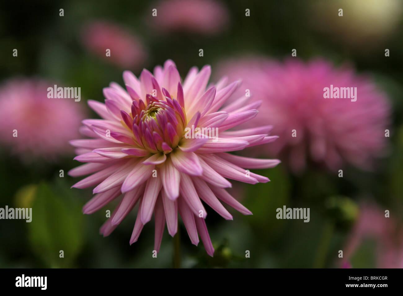 Dahlia (Deborah's Kiwi), decorative pink flower, cactus variety - Stock Image