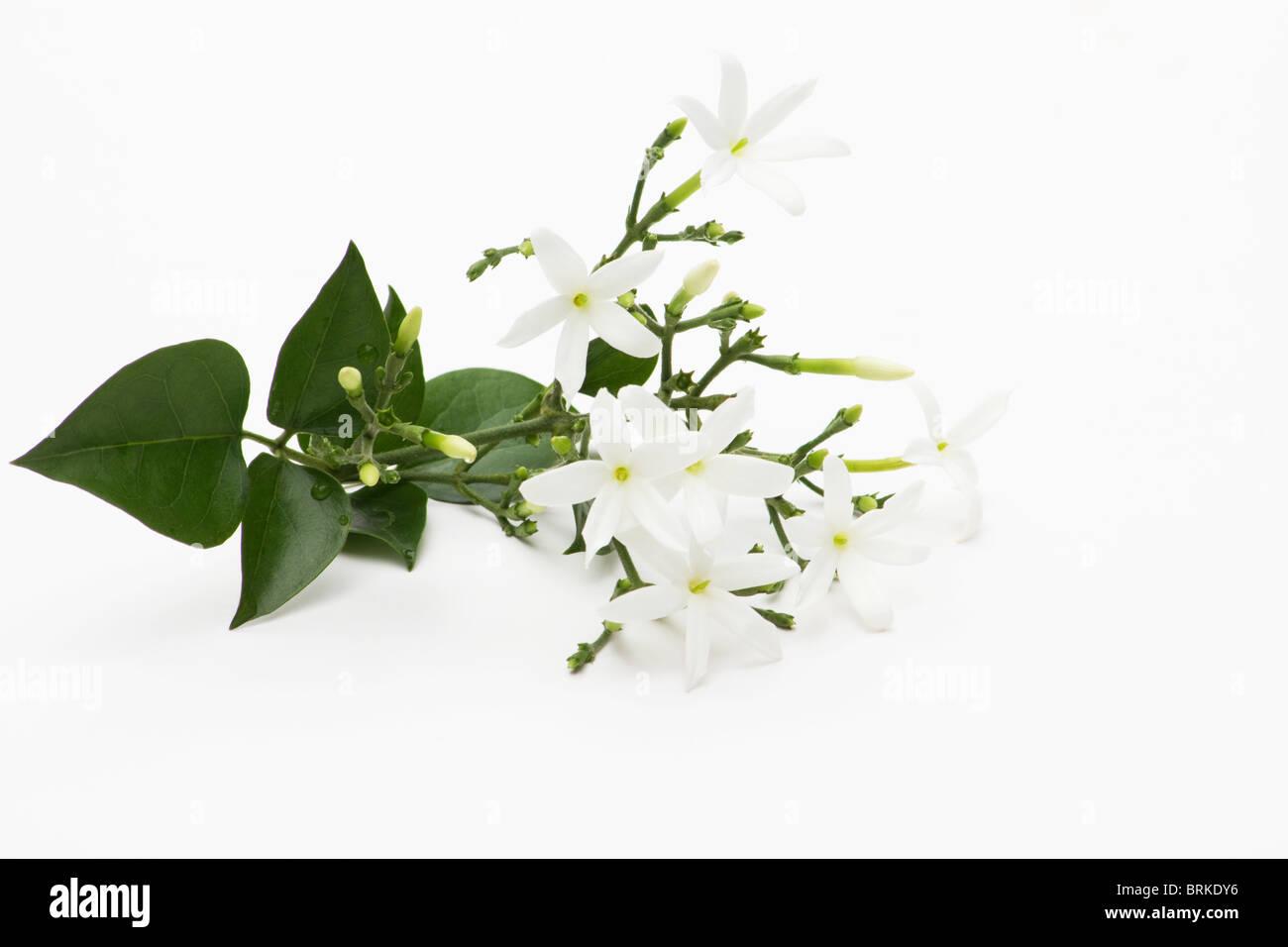 Azores Jasmine on white background - Stock Image