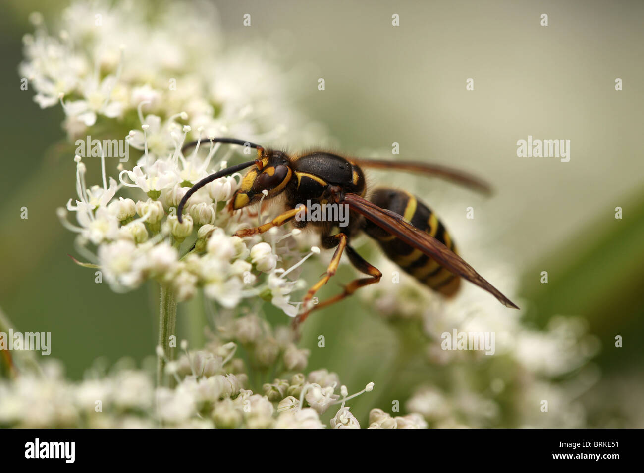 Macro of a Common Wasp (Vespa vulgaris) on white flowers - Stock Image