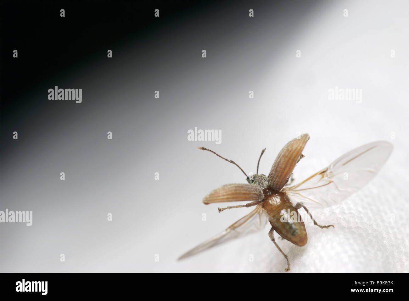 Cyrtepistomus castaneus, Asiatic oak weevil, taking off. - Stock Image